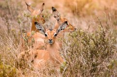 A group of impala fawns aepyceros melampus lying in the grass, South Africa. A group of impala fawns aepyceros melampus lying in the grass, with one looking at stock images