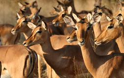 Group of impala females. A group of impala females grazing in the Kruger National Park stock photography