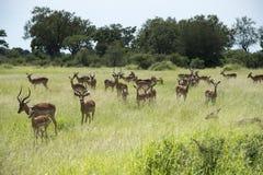 Group impala Royalty Free Stock Image