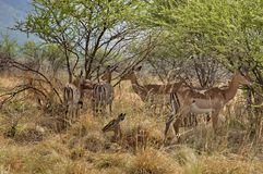 Group of impala standing in forest Stock Photography