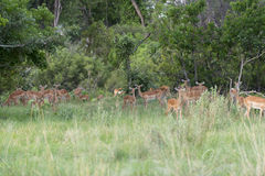 A group of impalas in the bush. The photo was taken during a safari in the Okavango Delta of Botswana Royalty Free Stock Image