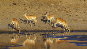 Group of Impalas in the riverbank,  in Kruger National park Royalty Free Stock Image