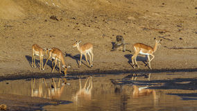 Group of Impalas in the riverbank,  in Kruger National park Royalty Free Stock Photos
