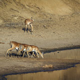 Group of Impalas in the riverbank,  in Kruger National park Stock Photo