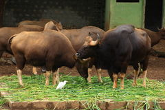 Group of Indian bison Royalty Free Stock Photo