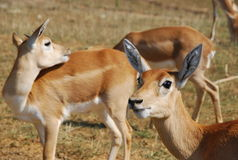 Group of Indian blackbuck. Side view of group of Indian blackbuck antelope in countryside Royalty Free Stock Photo