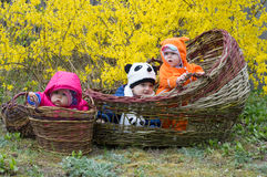 Group of infant babies in basket. Infant girls and boy in hand made baskets yellow spring bush basketry harvest Stock Images