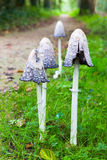 Group ink mushrooms near forest path in fall Royalty Free Stock Image