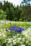 A group of Iris siberica blue flowers. Iris siberica blue flowers surrounded by wild carrot flowers, Finnish countryside in the early summer Royalty Free Stock Photography