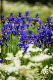 A group of Iris siberica blue flowers. Surrounded by wild carrot flowers, Finnish  countryside in the early summer Stock Photography