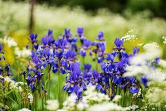 A group of Iris siberica blue flowers. Surrounded by wild carrot flowers, Finnish  countryside in the early summer Royalty Free Stock Images