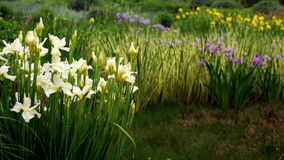 Group of Irises. Stately irises provide flashes of color across a landscape Stock Photography