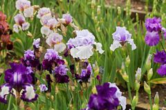 Group of irises Royalty Free Stock Photos