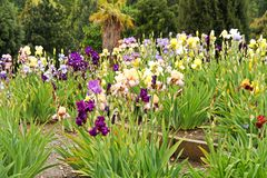 Group of irises Stock Image