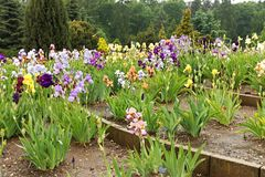 Group of irises Stock Images