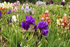 Group of irises Stock Image