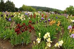 Group of irises Royalty Free Stock Photos