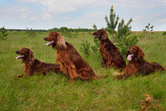 Group of Irish setters Stock Images