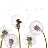 Group of isolated dandelions Stock Images