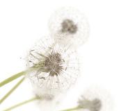 Group of isolated dandelions Stock Image