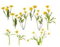 Group of isolated yellow buttercups Royalty Free Stock Image