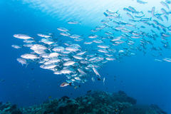 Group of jack fish Royalty Free Stock Photo