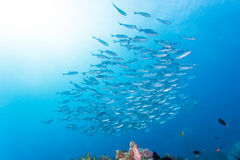 Group of jack fish Royalty Free Stock Photos