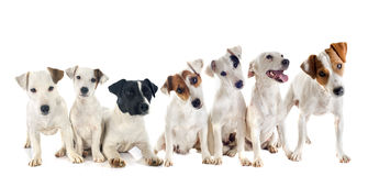 Group of jack russel terrier Royalty Free Stock Photography