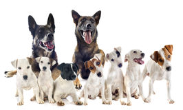 Group of jack russel terrier and malinois Stock Photo