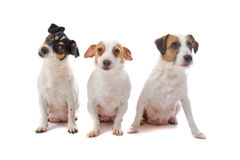 Group of Jack russel terriers Royalty Free Stock Image