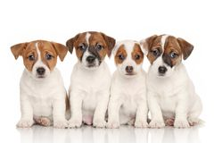 Group of Jack Russell puppies. Group of Jack Russell terrier puppies in front of white background stock photo
