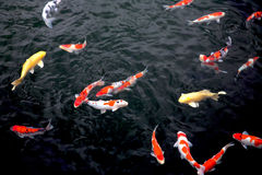 Group of Japanese koi feeding. Group of Japanese koi swimming in the lake Stock Photo