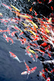 Group of Japanese koi feeding. Group of Japanese koi in a feeding frenzy Stock Image