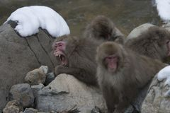 Group of Japanese macaque or snow monkeys, Macaca fuscata , sitting on rock of hot spring, one with mouth open showing teeth. J royalty free stock photography
