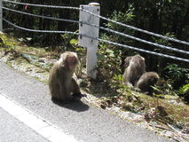 A group of Japanese macaques. A group of Japanese red-bottomed macaques Yakushima macaque, indigenous to the island. Yakushima Island, Kagoshima Prefecture Royalty Free Stock Image
