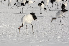 Group of Japanese Red-Crowned Cranes Foraging Royalty Free Stock Images