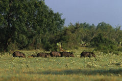 Group of Javelina Stock Image