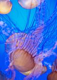 Group of jellies in deep blue water. Vertical group of jellies in deep blue water Stock Photography
