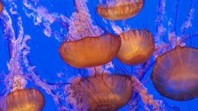 Group of jellies in deep blue water Stock Photos