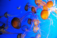 Group of Jellies. A group of jellyfish on blue background Royalty Free Stock Photos