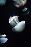 Group of jellyfish Stock Photos
