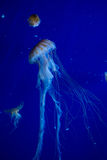 Group of Jellyfish Royalty Free Stock Photo