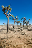 Group of Joshua Trees in Open Desert Vertical Stock Photography