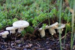 Group of joung Lactarius Piperatus Stock Image