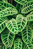 Juicy contrast green leaves background. Group of juicy green leaves with contrast veins and drops of dew Stock Photo