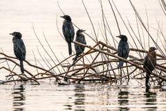 Group of juvenile cormorants Stock Image