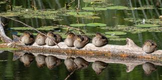 Group of juvenile Mallard Anas platyrhynchos resting in sun. Group of juvenile mallardAnas platyrhynchos resting in sun after swimming, Bialowieza Forest, Poland Royalty Free Stock Photo