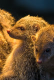 Group Of Juvenile Mongooses Stock Image