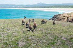 Group of Kangaroo. Stock Images