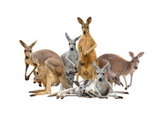 Group of kangaroo. Isolated on white background Royalty Free Stock Images